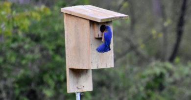 Bluebird Boxes